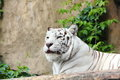 White tiger lying on logs summer day Royalty Free Stock Images