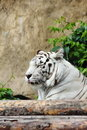 White tiger lying on logs summer day Stock Photo