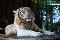White tiger lying on stone Royalty Free Stock Photos