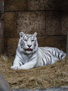 White tiger lying in the zoo shelter Stock Photo