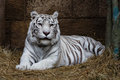 White tiger lying in the zoo shelter Royalty Free Stock Images