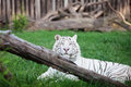 White tiger in an open cage Royalty Free Stock Images