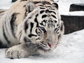 White tiger Panthera tigris bengalensis at the snow portrait Royalty Free Stock Photo