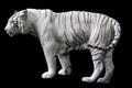 White tiger photo of isolated on black background Royalty Free Stock Photos