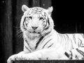 White tiger portrait. Black and white image Royalty Free Stock Photo
