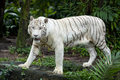 White tiger prance Stock Photography