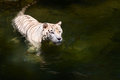 White Tiger Prowls In Water