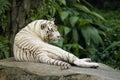 White tiger resting Royalty Free Stock Photo