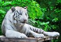 White tiger rests with green trees Royalty Free Stock Photo