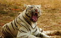 White tiger roaring Stock Image