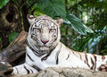 WHITE TIGER Royalty Free Stock Photo