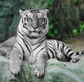 WHITE TIGER on a rock in zoo Royalty Free Stock Image