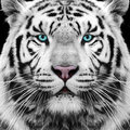 White tiger siberian face eyes Royalty Free Stock Photo