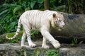 White tiger in Singapore Zoo Royalty Free Stock Photo