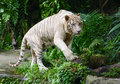 White Tiger In Singapore Zoo