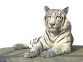 White tiger the strong bengal isolated on background Royalty Free Stock Image