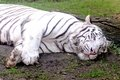 White tiger sumatran lying on the ground relaxing Royalty Free Stock Photo