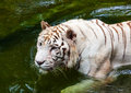 White Tiger In Water
