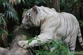 White tiger a wild life shot of a in captivity Stock Images