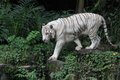 White tiger a wild life shot of a in captivity Stock Photography
