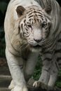 White tiger a wild life shot of a in captivity Royalty Free Stock Photo