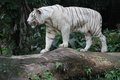 White tiger a wild life shot of a in captivity Stock Image