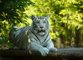White tigress. Royalty Free Stock Photos