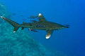 White tip oceanic shark longimanus in the red sea Royalty Free Stock Image