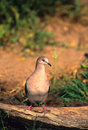 White-tipped Dove on Log Royalty Free Stock Photo