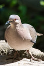 White tipped dove Royalty Free Stock Photo