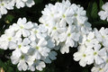 White trailing verbena flowers a closeup of two flower clusters of pure x hybrida against a dark background Stock Photo