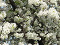 White tree with lots of flowers Royalty Free Stock Images