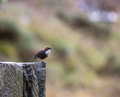 White trhoated dipper cinclus cinclus rests stone wall Stock Photo