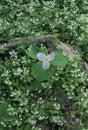 White Trillium, Smokies NP Royalty Free Stock Photo
