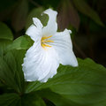 White trillium trillium grandiflorum bloom against green Royalty Free Stock Photography