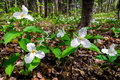 White trilliums on the forest floor growing trillium grandiflorum is official emblem of province of ontario and state Stock Photo