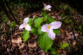 White trilliums pink phase in their growing on the forest floor the flowers turn before dropping their petals trillium Stock Photography