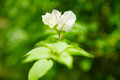 White tropical flower on a green background. Royalty Free Stock Photo