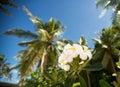 White tropical frangipani flower