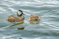 White tufted grebe adult feeding chick on lake waters Stock Images