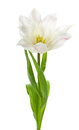White tulip Royalty Free Stock Image