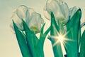 White tulip Royalty Free Stock Photo