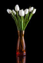 White tulip on black background Royalty Free Stock Image
