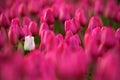 White Tulip Bloom, Red Beautif...