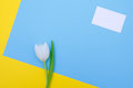 White tulip on blue and yellow background