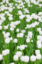 White tulip details the in the zhongshan park in beijing Stock Photo