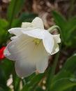 White Tulip Flower In Bloom