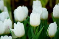 White tulip flower with green leaf Royalty Free Stock Photo