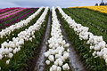White Tulip Hills Flowers Skagit Washington Royalty Free Stock Photos
