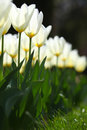 White tulip rows in warm light beautiful fragile glowing tulips Stock Photography